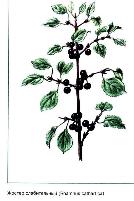 жостер слабительный ботаническая картинка удачи, безграничного